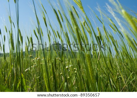 Wheat field and hill at summer