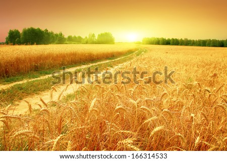 Wheat field and sunset. #166314533