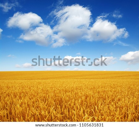wheat field and white clouds #1105631831