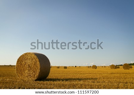 Wheat field at harvest with clear sky and copy space