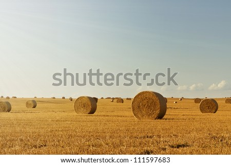 Wheat field at harvest with copy space
