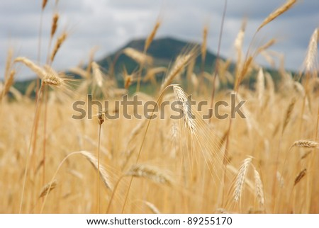 Wheat field at summer
