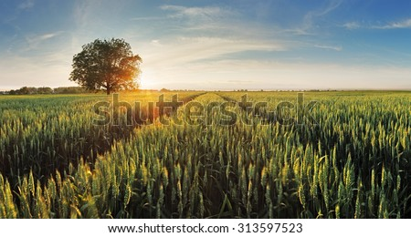 Wheat field at sunset #313597523