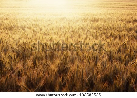 Wheat field at sunset nature background with copy space