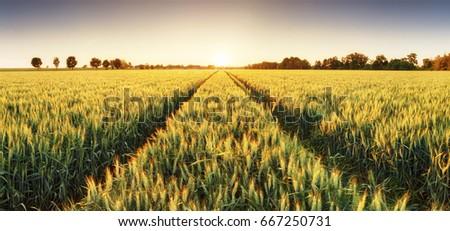 Wheat field at sunset, panorama #667250731
