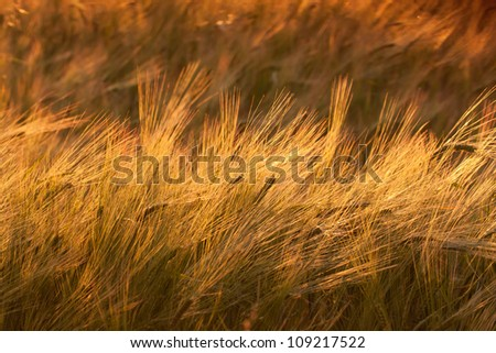 Wheat field at sunset, warm colors