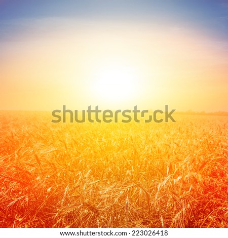 wheat field at the early morning #223026418