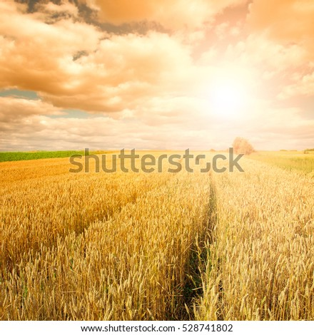 wheat field at the sunset       #528741802