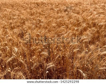 Wheat field background. Field landscape