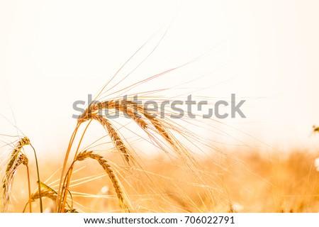 Wheat field. Background of ripening ears of meadow wheat field. Rich rural harvest concept - Shutterstock ID 706022791