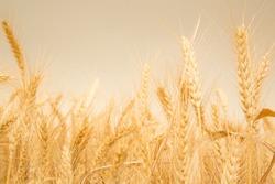 Wheat field before harvesting, Feast of Weeks, Jewish Israeli holiday of Shavuot, barley field before harvest time