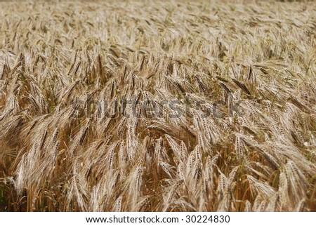 Wheat field blowing in the wind