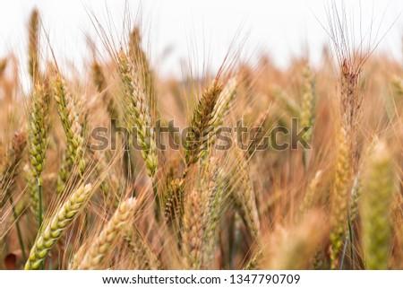 wheat field close up #1347790709