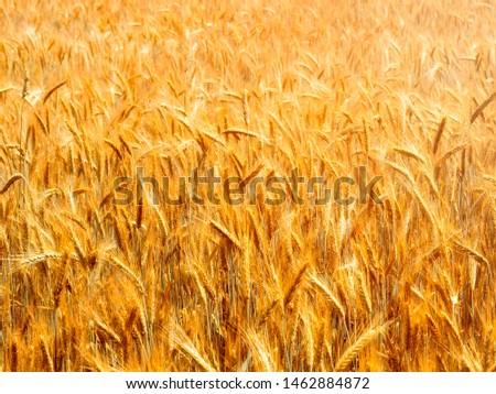 Wheat field. Crop crops. Ears of corn
