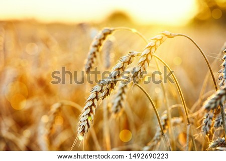Wheat field. Ears of golden wheat. Beautiful Sunset Landscape. Background of ripening ears. Ripe cereal crop. close up #1492690223