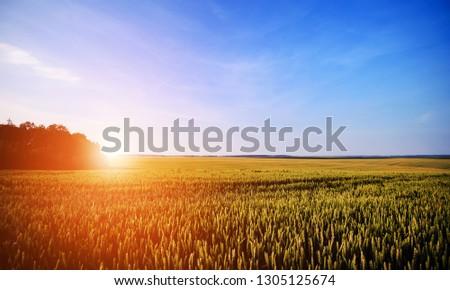 Wheat field. Ears of golden wheat close up. Beautiful Nature Sunset Landscape. #1305125674