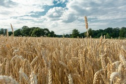 Wheat field. Ears of golden wheat close up. Beautiful Nature Sunset Landscape. Rural Scenery under Shining Sunlight. Background of ripening ears of wheat field. Rich harvest, public farmland.