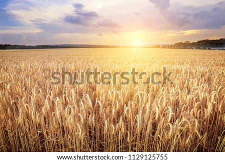 Wheat field. Ears of golden wheat close up. Beautiful Nature Sunset Landscape. Rural Scenery under Shining Sunlight. Background of ripening ears of wheat field. Rich harvest Concept. Label art design #1129125755