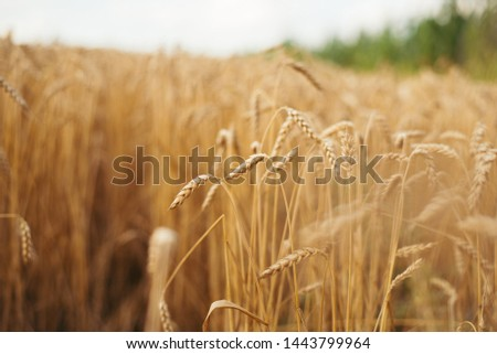 Wheat field. Ears of golden wheat close up. Beautiful Nature Sunset Landscape. Rural Scenery under Shining Sunlight. Background of ripening ears of wheat field. Rich harvest Concept. #1443799964