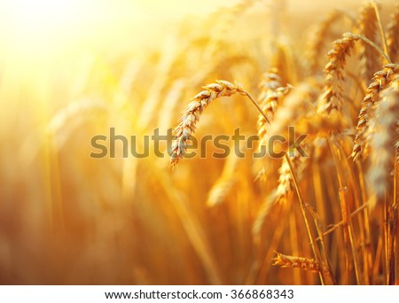 Wheat field. Ears of golden wheat close up. Beautiful Nature Sunset Landscape. Rural Scenery under Shining Sunlight. Background of ripening ears of meadow wheat field. Rich harvest Concept #366868343