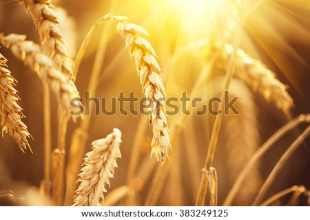Wheat field. Ears of golden wheat close up. Beautiful Nature Sunset Landscape. Rural Scenery under Shining Sunlight. Background of ripening ears of meadow wheat field. Rich harvest Concept