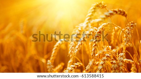 Wheat field. Ears of golden wheat close up. Beautiful Nature Sunset Landscape. Rural Scenery under Shining Sunlight. Background of ripening ears of meadow wheat field. Rich harvest Concept. Ads #613588415