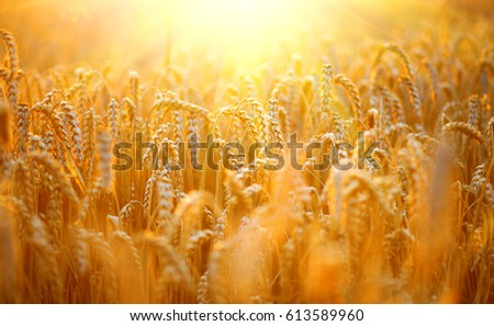 Wheat field. Ears of golden wheat close up. Beautiful Nature Sunset Landscape. Rural Scenery under Shining Sunlight. Background of ripening ears of meadow wheat field. Rich harvest Concept #613589960