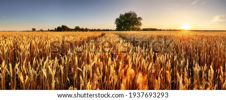 Wheat field. Ears of golden wheat close up. Beautiful Rural Scenery under Shining Sunlight and blue sky. Background of ripening ears of meadow wheat field.