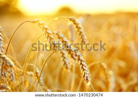 Wheat field. Ears of ripe wheat close up. Agricultural Background . Rich harvest Concept. #1470230474