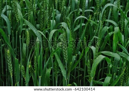 wheat field, field of wheat, wheat
