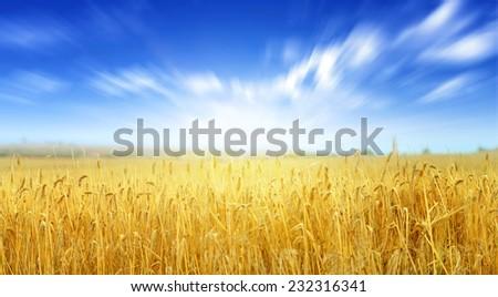 wheat field, fresh crop of wheat #232316341