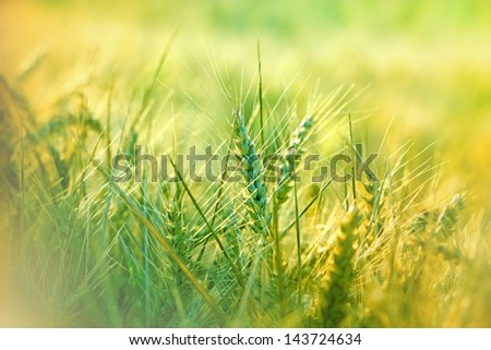 Wheat field - green wheat