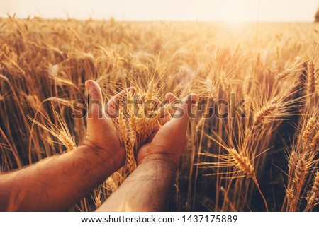 Wheat field. Hands holding ears of golden wheat close up. Beautiful Nature Sunset Landscape. Rural Scenery under Shining Sunlight. Background of ripening ears of wheat field. Rich harvest Concept.  #1437175889