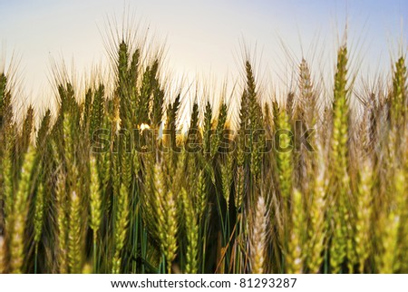 Wheat field in evening sun
