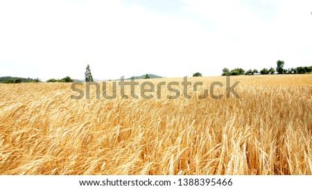 Wheat field in Gerona, Catalunya, Spain, Europe