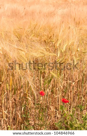 wheat field in june - yellow ear of corn and red poppies