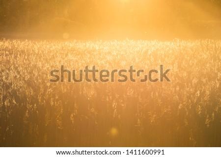 Wheat field in orange backlight #1411600991