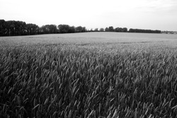 Wheat field in summer in black and white. Seasonal natural background.
