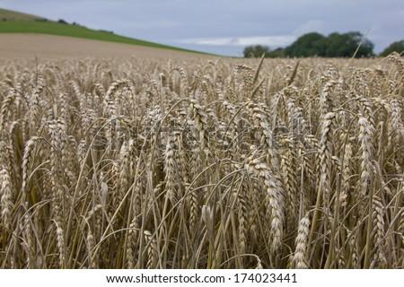 Wheat field in summer near Wilmington, East Sussex. England, UK.