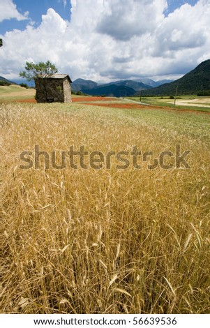 Wheat field in the Provence, France