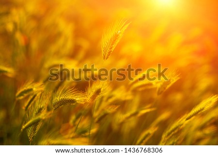 wheat field in the sun at sunset. #1436768306