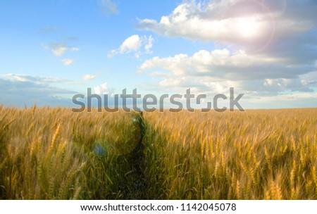 Wheat field in the village #1142045078