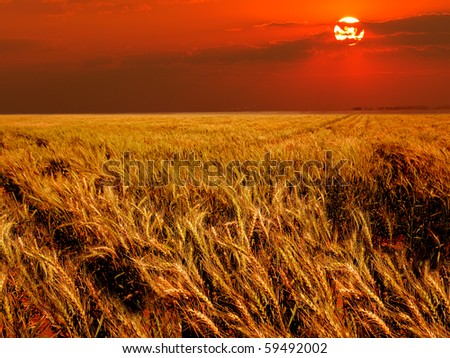 Wheat field in warm light at sunset