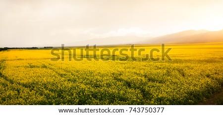 wheat field in xinjiang