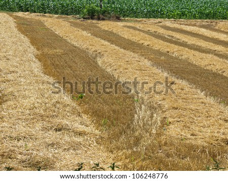 wheat field just after harvest