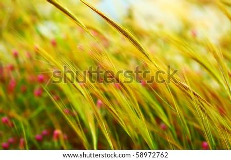 Wheat field landscape late summer scene