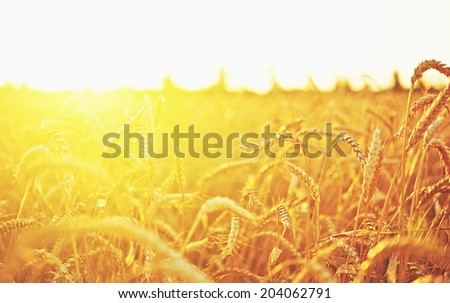 wheat field. natural background #204062791