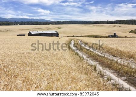 Wheat field near Teton Idaho, Fremont County