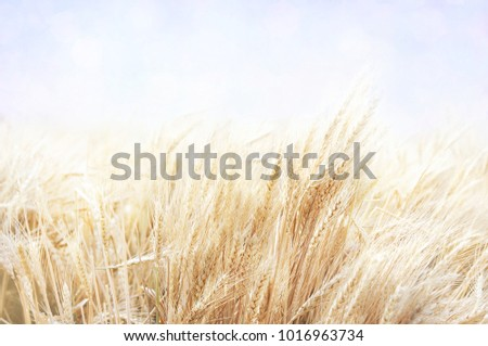 Wheat field on blue sky, summer farm harvest background, selective focus, shallow DOF, toned