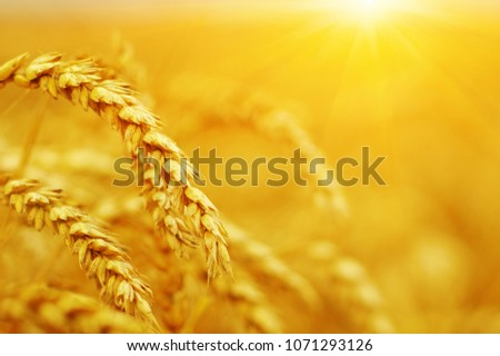 Wheat field on sun. Harvest and food concept #1071293126